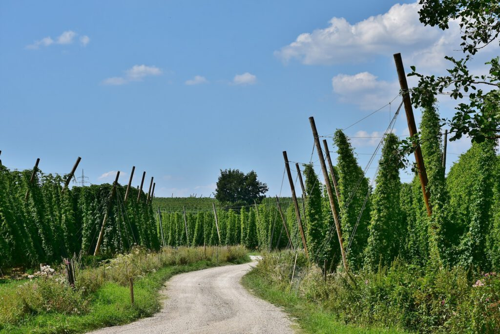 Hop cultivation with field path